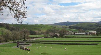 Lambs in a grassy green field