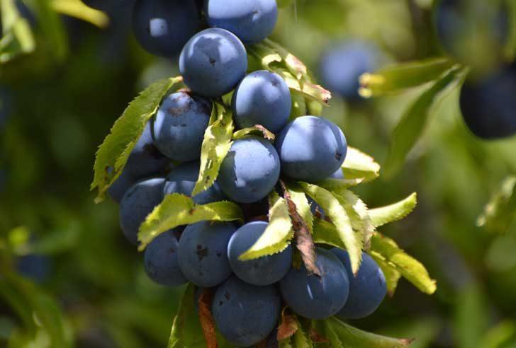 Purple-blue round, matte berries hanging off a branch